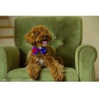 犬用领结(方格4色)